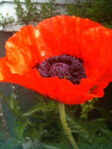 halifax poppy 2012